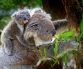 Help Protect Critical Koala Habitats